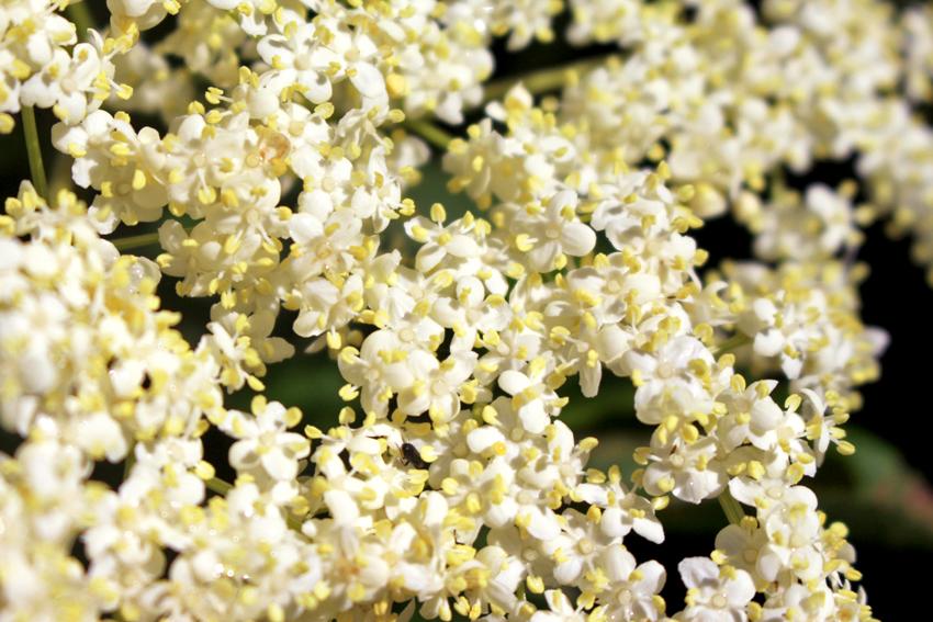 Fleurs de sureau noir Oumbi nature