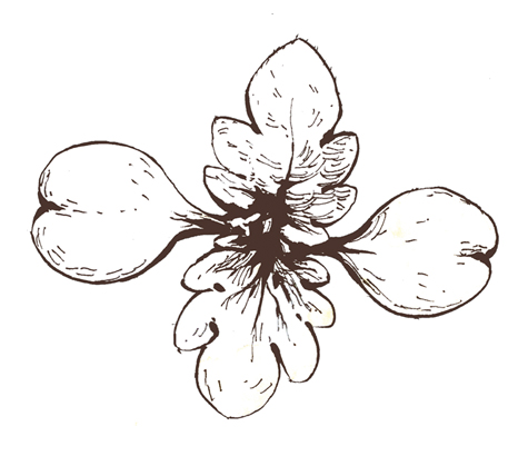 Illustration plantule d'ortie - OUMBI
