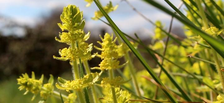 Gaillet croisette - Herbe à miel - Vidéo de A à Z - Oumbi - Permaculture etc.
