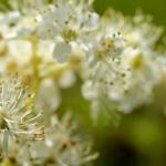 Fleurs de Reine des près - vidéos - OUMBI.fr